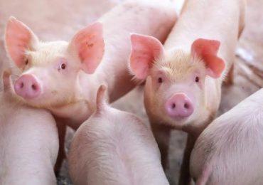 ARiMR: Pożyczki dla producentów świń na obszarach objętych ASF znów dostępne