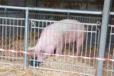 ASF: Pomoc finansowa dla producentów świń