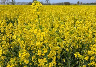 Skup rzepaku i innych roślin rolniczych w niedziele i święta