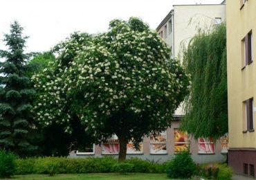 Rzeszów: Czarny bez uznany za najpiękniejsze drzewo w Polsce