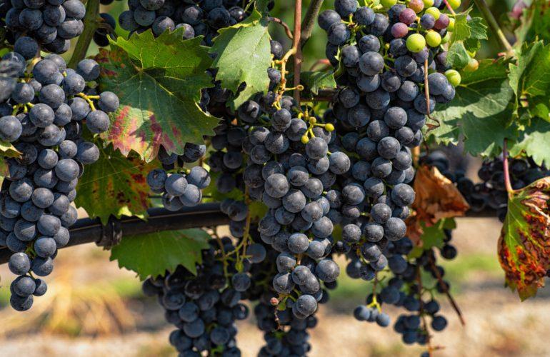 Uwaga producenci i przedsiębiorcy wyrabiający wino - ważna data!