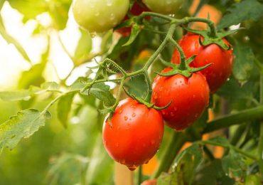 Porady: Sadzimy pomidory- jakie odmiany wybrać ? Właściwości, zastosowanie