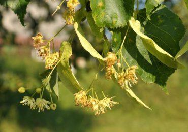 Porady: Kwiat lipy - właściwości i zastosowanie