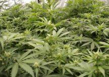 Stalowa Wola: Policjanci zlikwidowali uprawę marihuany