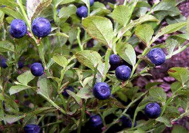 Zdrowie: W lasach pojawiły się owoce borówki czarnej. Jakie mają zastosowanie i właściwości lecznicze?