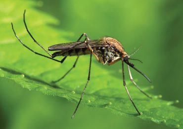 Porady: Domowe sposoby na odstraszanie komarów