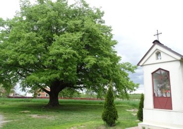 Mielec: Lipa z Podkarpacia Drzewem Roku 2020
