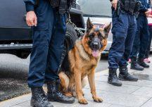 Łańcut: Kodżak, czworonożny funkcjonariusz przyczynił się do zatrzymania włamywaczy