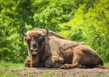 Lesko: Doroczne liczenie żubrów w Bieszczadach