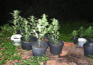 Ropczyce: Kolejne uprawy marihuany zlikwidowane