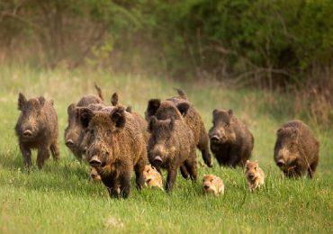 Rolnictwo: Coraz więcej przypadków ASF. Na Podkarpaciu 11 ognisk afrykańskiego pomoru świń.