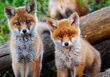Podkarpacie: Jesienna akcja szczepienia lisów przeciwko wściekliźnie