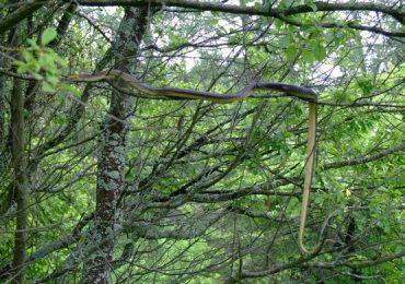 Ustrzyki Dolne: Największe węże dusiciele mieszkają w Bieszczadach.