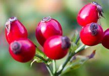 Kulinaria: Superwitaminowa nalewka z dzikiej róży