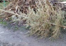 Mielec: Poświąteczna zbiórka choinek
