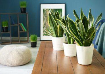 Porady: Te rośliny nie tylko ładnie wyglądają ale i oczyszczają powietrze. Warto je mieć w swoim pokoju