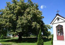 Mielec: Lipa z Dulczy powalczy o tytuł Europejskiego Drzewa Roku