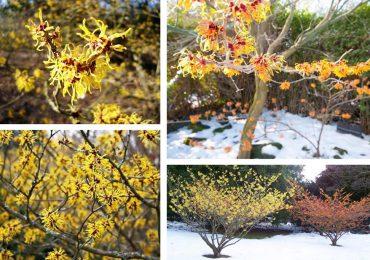 Porady: Rośliny, które kwitną w ogrodzie nawet zimą
