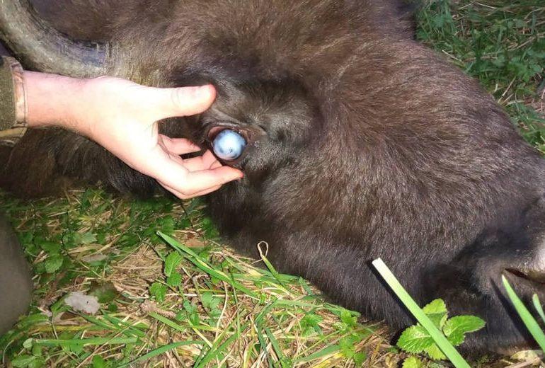 Ustrzyki Dolne: Jest zgoda na odstrzał chorych żubrów w Bieszczadach