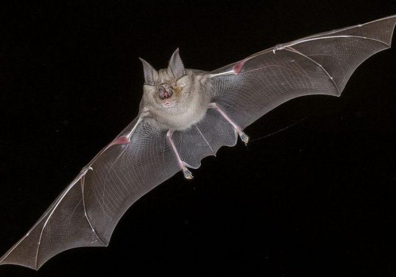 Brzozów: Trwa liczenie nietoperzy w regionie.