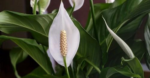Porady: Skrzydłokwiat - roślina, która powinna być w każdym domu.