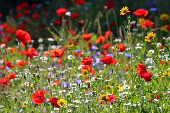 Porady: Jak założyć i pielęgnować łąkę kwietną?