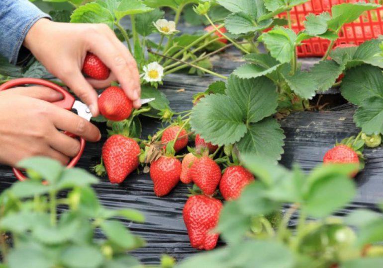 Porady: Truskawki i ich właściwości odżywcze. Jakie witaminy mają truskawki?