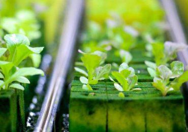 Technologie: Hydroponika – kamienie wulkaniczne do produkcji owoców i warzyw.