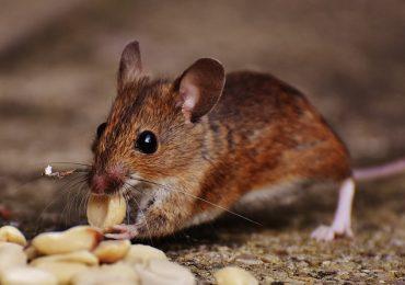 Technologie: Naukowcy wydłużyli życie myszy o 30 procent.