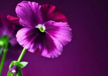 Zdrowie: Bratek a leczenie trądziku